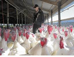 Pinecrest Christmas Tree Farm by Jaindl Farms Relies On Foreign Laborers To Put Turkeys On Your
