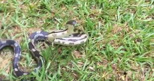 TomoNews | Woman Films Rat Snake In Yard And Tries To Touch It ... Diamondback Water Snake Indiana 1 Yard Long Youtube Snake Trap Cahaba Ewww Snakes 6 Tips To Keep Them Away From Your Home How A 14 Steps With Pictures Wikihow In The Duck House 9 Tips Help Repel Snakes Fresh Eggs Best Way Ive Found Yet Deal Problems Backyard Removal Wildlife Services Of South Florida Catch Deadly Safely Out Louisiana Department And Fisheries
