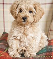 Do F2 Cockapoos Shed by Best 25 Cockapoo Ideas On Pinterest Maltipoo Cavoodle Dog And