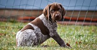 German Wirehaired Pointer Shedding by German Shorthaired Pointer Dogs And Puppies Dog Breeds Journal