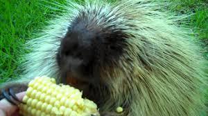 Porcupine Eats Pumpkin by Porcupine Porcupine Photos Porcupine News Porcupine Pics