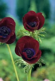 buy anemone bordeaux bulbs unwins seeds