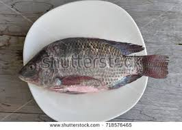 One Nile Tilapia Fish On White Ground