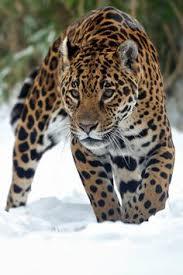 Jaguar Cat pacing and stalking its prey Big Cats Pinterest