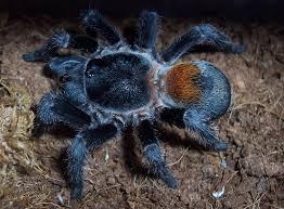 Pumpkin Patch Tarantula Scientific Name by Euathlus Sp Red Chilean Flame Dwarf Questions From A Newbie