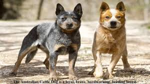 australian cattle dogs shed a lot information video youtube