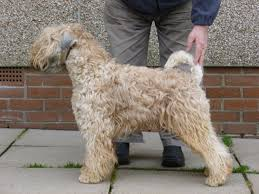 Do Irish Wheaten Terriers Shed by Soft Coated Wheaten Terrier Pups For Sale Wirral Merseyside