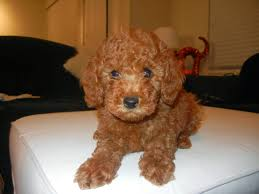 Best House Dogs That Dont Shed by The Life Of Bon A Baby Or A Dog