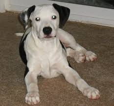 Non Shedding Dogs Large by Why Is The Pitbull Lab Mix Aka Labrabull Such A Great Dog