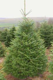 Fraser Christmas Tree Care by Our Trees Dartmoor Christmas Trees