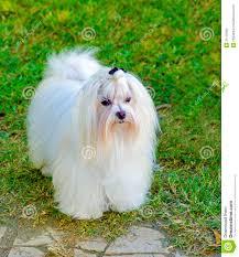Small White Non Shedding Dog Breeds by Maltese Dog Royalty Free Stock Photos Image 35119598