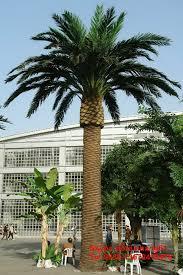 prix des palmiers exterieur prix palmier adulte