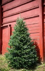 Fraser Fir Christmas Trees Delivered by 6 5 7 Ft Fraser Fir Trees Green Valley Christmas Trees
