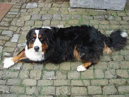 comment empecher chien de monter sur le canapé dysplasie de la hanche du chien lebernard