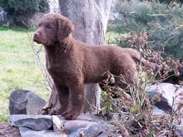 Chesapeake Bay Retriever Vs Lab Shedding by 497 Best Labs And Chesapeaks Images On Pinterest Chesapeake Bay