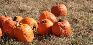 Chesterfield Berry Farm Pumpkin Patch 2015 by New Jersey Pumpkin Patches Our Favorite Pumpkin Picking Spots