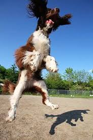 Springer Spaniel Shed Hunting by English Springer Spaniel Springing Spaniels Breed Information
