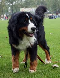 Low Shedding Big Dogs by Bernese Mountain Dog Breed Info Pictures U0026 More