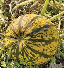 Fertilizer Requirements For Pumpkins by Godiva Organic Pumpkin Seeds