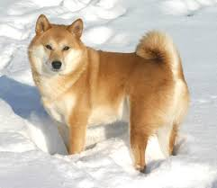 do shiba inus shed hair 2 answers what is the difference between corgis and shibas