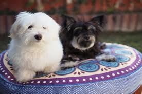 30 Dog Breeds That Shed The Most by Top 10 World Most Popular Maltese Mix Dog Breeds
