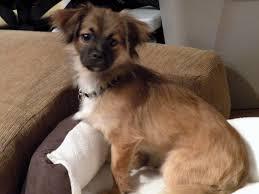 No Shed Dogs Medium by Good House Dogs Medium Noten Animals Non Shedding Dogs Medium