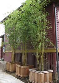 planting bamboo in a pot im thinking of growing bamboo as a privacy screen i like the