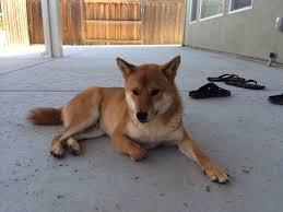 Do Shiba Dogs Shed by Yum Yum Hibiscus Buds Anyone The Shiba Inu Forum