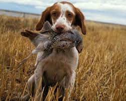 Big Dogs That Dont Shed Badly by Best Hunting Dogs Ol Picks The Best Retrievers Pointers
