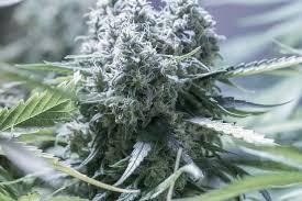 fin de floraison cannabis exterieur critical 2 0 acheter des graines de cannabis critical 2 0