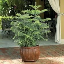 Types Of Christmas Trees To Plant by Great Indoor Trees Hgtv