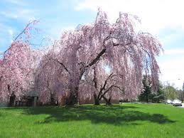 Im Thinking About Planting A Weeping Cherry Tree In Our New Front Yard