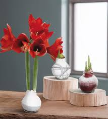 no water wax dipped amaryllis bulbs vivaterra