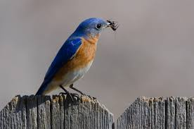 Eastern Bluebird | Audubon Field Guide North American Birds The Rheaded Woodpecker Has Black Upper National Geographic Backyard Guide To The Of America Snow 10 Look For In Winter Cool Green Science Sibleys Western Poster Scott Nix Northern Flicker Colaptes Auratus State Americas 2016 More Than Onethird Need Carolina Print Warming Temperatures Are Pushing Two Chickadee Speciesand Their Of Northeast David Sibley Pictures On Cheap Amazing Find Deals On