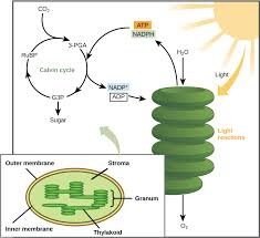 The Calvin cycle article synthesis