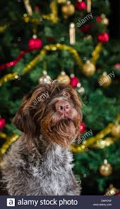 Wirehaired Pointing Griffon Non Shedding by 100 Griffon German Wirehaired Pointer Shedding Wirehaired