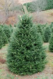Downswept Pencil Christmas Tree by Real Douglas Fir Christmas Tree Cheminee Website