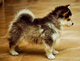 Non Shedding Husky Cross by Adopting A Pomeranian Husky Must Have Before Bringing Your