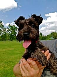 Do Giant Schnauzer Dogs Shed Hair by Best 25 Miniature Schnauzer Black Ideas On Pinterest Black