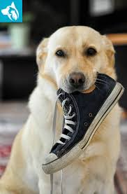 Top 10 Dogs That Dont Shed by Top 10 Emotional Support Animal Dog Breeds Emotional Pet Support