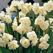 buy narcissus bulbs bridal crown 10 per pack
