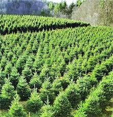 Santa Cruz County Christmas Tree Farms by 154 Best Christmas Trees Images On Pinterest La La La World And