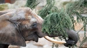 dresdener zoo elefanten fressen alte weihnachtsbäume de
