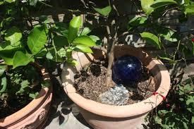 how to grow citrus indoors modern farmer