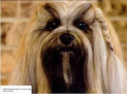 My Lhasa Apso Is Shedding Hair by Lhasa Apso Grooming Check Out How To Groom Your Lhasa Apso
