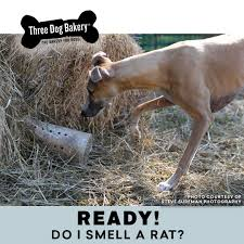 Ready! Do I Smell A Rat? - Three Dog Bakery Farmer Saves Rat From Death In Her Own Barn Redwood Coast Aazk Rat Poison Alternatives Mouse Poop Droppings Victor The Chicken Chick 15 Tips To Control Rodents Around Coops Black Rattus Rattus Foraging Of Farm Stock Photo Barn Owl About Enter Its Nest Carrying A Dead For Young Nose Work Hunt 44094 Kangaroo Rats San Diego Zoo Institute Cservation Research Mice And New York The Barn Rat Blog Remains Found Within The Wall During