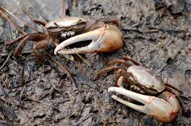 Halloween Hermit Crab Molting by Fiddler Crab Care 6 Steps