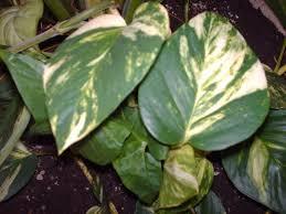 plantes vertes d interieur plante verte appartement florideeo
