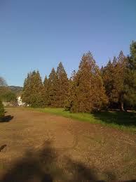 Shells Christmas Tree Farm by California Giant Sequoia Giant Sequoia Nursery