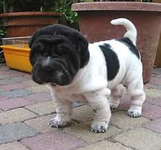 Do Mini Shar Peis Shed by Shar Pei Puppy Frenchies Pugs And Bulldogs Flat Nosed Breeds